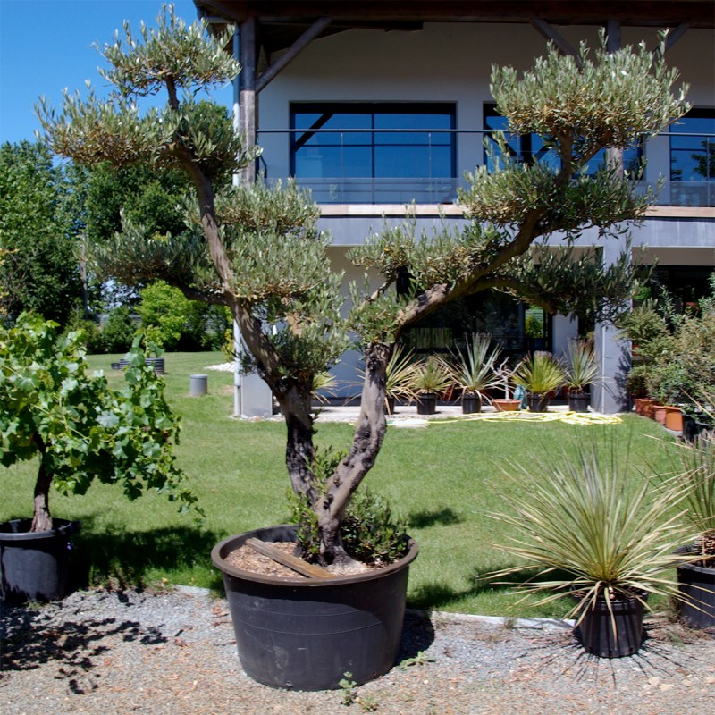 Olivier plateau ou nuage concept jardin for Jardin olivier