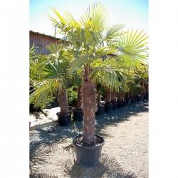 Palmier à chanvre 80cm