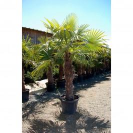 Palmier à chanvre 110cm